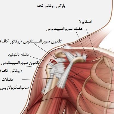آناتومی شانه و عضلات روتاتور کاف